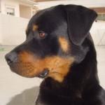 498367 caes da raça rottweiler fotos 20 150x150  Cães da raça rottweiler: fotos