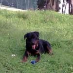 498367 caes da raça rottweiler fotos 21 150x150  Cães da raça rottweiler: fotos