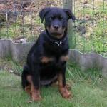 498367 caes da raça rottweiler fotos 27 150x150  Cães da raça rottweiler: fotos
