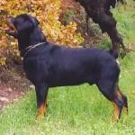 498367 caes da raça rottweiler fotos 31 150x150  Cães da raça rottweiler: fotos