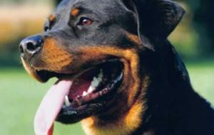 Cães da raça rottweiler: fotos