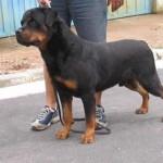 498367 caes da raça rottweiler fotos 5 150x150  Cães da raça rottweiler: fotos