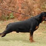 498367 caes da raça rottweiler fotos 6 150x150  Cães da raça rottweiler: fotos