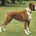 498514 A fêmea geralmente é um pouco menor que o macho. 150x150 Cães da raça boxer: fotos