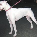 498514 A pelagem preta ou branca ainda não é oficialmente reconhecida. 150x150 Cães da raça boxer: fotos