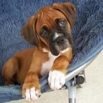 498514 A raça é uma das 10 mais registradas no Brasil. 150x150 Cães da raça boxer: fotos