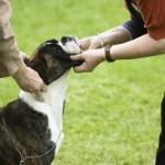 498514 Cães boxer agradam a todos os estilos. 150x150 Cães da raça boxer: fotos