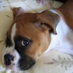 498514 Cães boxer não são exigentes de atenção. 150x150 Cães da raça boxer: fotos