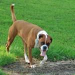 498514 Essa raça é ativa e cheia de energia. 150x150 Cães da raça boxer: fotos