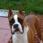 498514 Esse cão é muito fiel a seu dono. 150x150 Cães da raça boxer: fotos