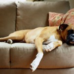 498514 O boxer não é exigente com relação ao espaço. 150x150 Cães da raça boxer: fotos