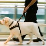 498741 A maioria dos cães guias são labradores. 150x150 Fotos de cães da raça labrador