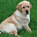 498741 A origem da raça é inglesa. 150x150 Fotos de cães da raça labrador