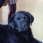 498741 A raça labrador é muito popular. 150x150 Fotos de cães da raça labrador