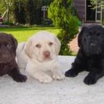 498741 As cores oficiais são o chocolate amarelo e preto. 150x150 Fotos de cães da raça labrador