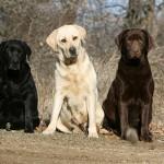 498741 Essa raça possui tendência para algumas donças. 150x150 Fotos de cães da raça labrador