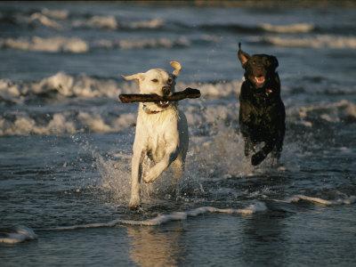 498741 O corpo do labrador foi projetado para a água. Fotos de cães da raça labrador
