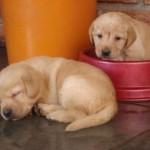 498741 O excesso de alimentação pode ser perigoso. 150x150 Fotos de cães da raça labrador