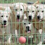 498741 Os cães são cheios de energia e adoram brincar. 150x150 Fotos de cães da raça labrador
