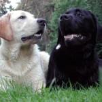 498741 Os labradores adoram bastante espaço. 150x150 Fotos de cães da raça labrador