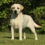 498741 Os labradores são perfeitos para a família. 150x150 Fotos de cães da raça labrador
