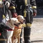 498741 Os labradores são usados em missões de resgate. 150x150 Fotos de cães da raça labrador