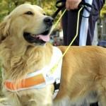 498741 São muito fáceis de adestrar. 150x150 Fotos de cães da raça labrador