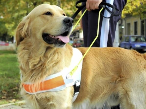 498741 São muito fáceis de adestrar. Fotos de cães da raça labrador