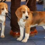 498782 Fotos de cães da raça beagle 10 150x150 Fotos de cães da raça Beagle