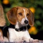 498782 Fotos de cães da raça beagle 11 150x150 Fotos de cães da raça Beagle