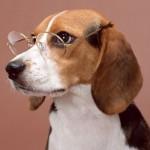 498782 Fotos de cães da raça beagle 21 150x150 Fotos de cães da raça Beagle