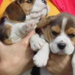 498782 Fotos de cães da raça beagle 6 150x150 Fotos de cães da raça Beagle