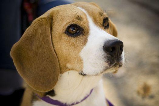498782 Fotos de cães da raça beagle 8 Fotos de cães da raça Beagle