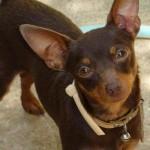 498889 fotos de caes da raca pinscher 1 150x150 Fotos de cães da raça Pinscher