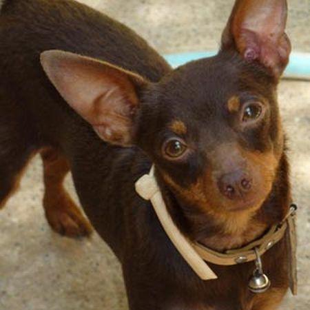 498889 fotos de caes da raca pinscher 1 Fotos de cães da raça Pinscher