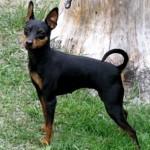 498889 fotos de caes da raca pinscher 10 150x150 Fotos de cães da raça Pinscher