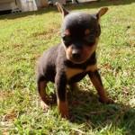 498889 fotos de caes da raca pinscher 11 150x150 Fotos de cães da raça Pinscher