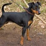 498889 fotos de caes da raca pinscher 150x150 Fotos de cães da raça Pinscher