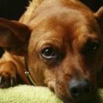 498889 fotos de caes da raca pinscher 18 150x150 Fotos de cães da raça Pinscher