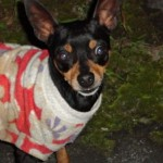 498889 fotos de caes da raca pinscher 19 150x150 Fotos de cães da raça Pinscher