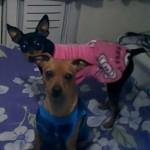 498889 fotos de caes da raca pinscher 21 150x150 Fotos de cães da raça Pinscher