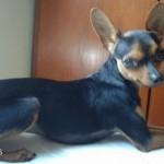 498889 fotos de caes da raca pinscher 22 150x150 Fotos de cães da raça Pinscher