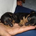498889 fotos de caes da raca pinscher 26 150x150 Fotos de cães da raça Pinscher