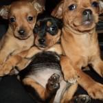 498889 fotos de caes da raca pinscher 27 150x150 Fotos de cães da raça Pinscher
