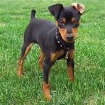 498889 fotos de caes da raca pinscher 29 150x150 Fotos de cães da raça Pinscher