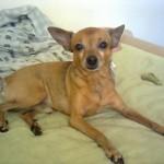 498889 fotos de caes da raca pinscher 3 150x150 Fotos de cães da raça Pinscher