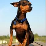 498889 fotos de caes da raca pinscher 30 150x150 Fotos de cães da raça Pinscher
