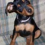498889 fotos de caes da raca pinscher 8 150x150 Fotos de cães da raça Pinscher