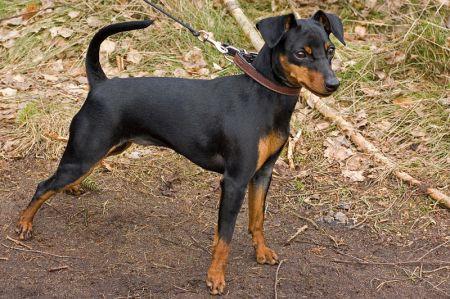 498889 fotos de caes da raca pinscher Fotos de cães da raça Pinscher