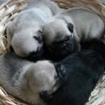 498962 fotos de caes da raca pug 13 150x150 Fotos de cães da raça Pug